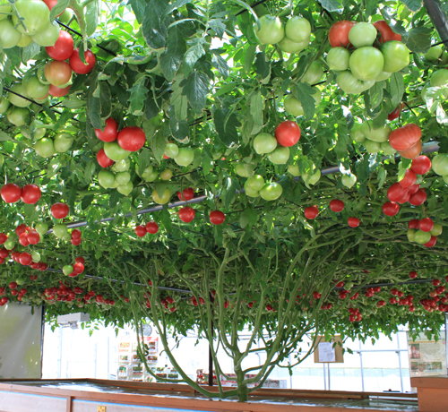 The World S Largest Tomato Plant Shows Wonder Of Life