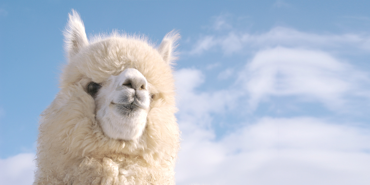 Visitors can see cute alpacas and sheep with various expressions imgae